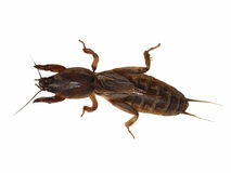 Mole cricket isolated on white background Stock Photos