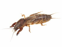 Mole cricket isolated on white background Royalty Free Stock Photo