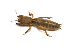 Mole cricket Royalty Free Stock Photography