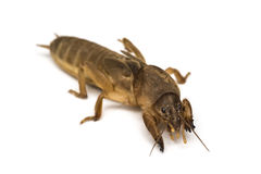 Mole cricket. A mole cricket isolated on a white background royalty free stock photos