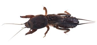 Mole cricket Stock Photos