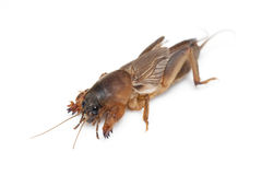 Mole cricket isolated on white Stock Photo