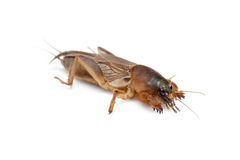 Mole cricket Stock Image