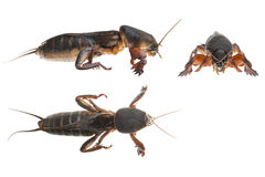 Mole cricket Royalty Free Stock Image