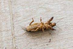 Mole cricket Outside (Gryllotalpidae) Royalty Free Stock Images