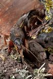 Mole Cricket. Terrible Mole Cricket dig soil royalty free stock photography