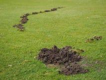 Mole damage to a Golf course fairway Stock Photo