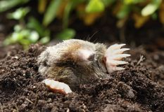 Mole Royalty Free Stock Photography