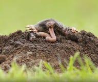 Mole, die Wurm isst lizenzfreies stockbild