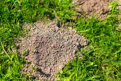 Mole dug in the ground in spring.  stock photography