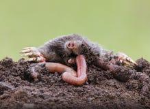 Mole eating earthworm stock image