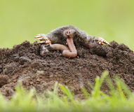 Mole eating worm Royalty Free Stock Image