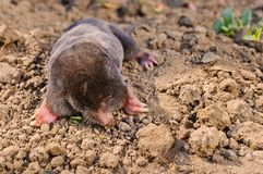 Mole in garden Royalty Free Stock Images