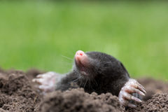 Mole. A mole in the garden stock image