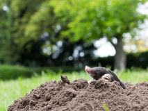 Mole. A mole in the garden stock photography