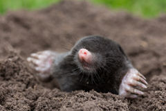 Mole. A mole in the garden royalty free stock photography
