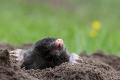 Mole. A mole in the garden stock photos