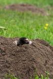 Mole Stock Photo