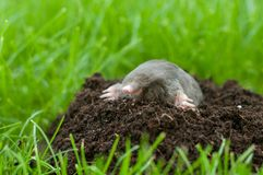 Mole out of grass. Mole in a garden- heap of soil in the grass stock image