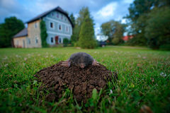 Mole in garden with house in background. Mole, Talpa europaea, crawling out of brown molehill, green grass. Mouse in soil. Mole in. Garden royalty free stock photography