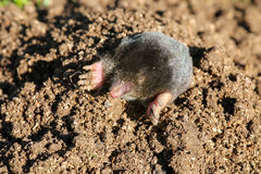 Mole in the garden. A mole looks out of its construction stock photo