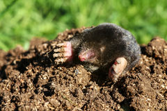 Mole in the garden. A mole looks out of its construction stock photos