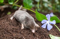 Mole in a garden. Mole out of it`s hole in the garden stock photo