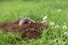 Mole in the garden Stock Photo