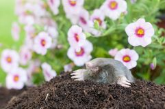 Mole in the garden. Mole out of it`s hole infront flowers stock photography