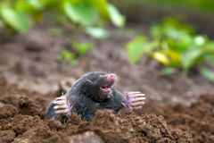 Mole in ground Royalty Free Stock Photos