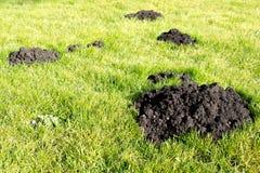 Mole-Hügel im Gartenrasen Stockfoto