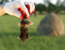 Mole in hand stock photo