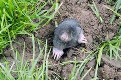 Mole head. Royalty Free Stock Photo