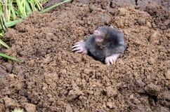 Mole head. Royalty Free Stock Image