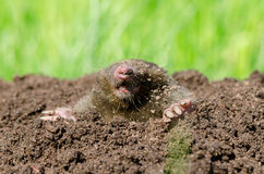 Mole head in soil. Mole head in molehill hole soil. Enemy for beautiful lawn stock images