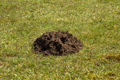 Mole Hill. A single mole hill in a field of grass royalty free stock images