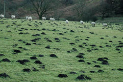 Mole hills. Molehills and sheep in a field near Whitby in th UK stock photos