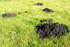 Mole Hills in the garden lawn Stock Photo