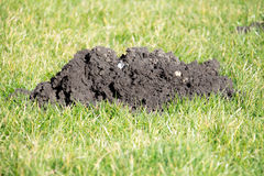 Mole Hills in the garden lawn. Mole hills can be destructive in the garden royalty free stock photography