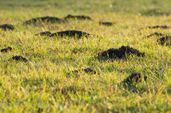Mole Hills in the Grass Stock Image