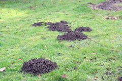 Mole hills in the grass or lawn. Royalty Free Stock Photos