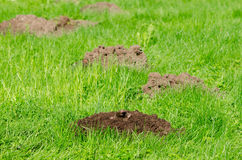 Mole hills on lawn grass and animal head in soil. Enemy for beautiful lawn royalty free stock photos