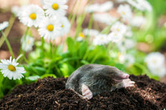 Mole in the hole. Mole on a heap of soil in a garden stock image
