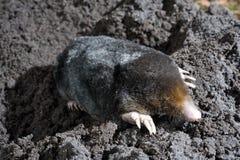 Mole im Sand Lizenzfreie Stockfotos