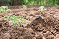 Free Mole In A Vegetable Garden Stock Image - 103931561