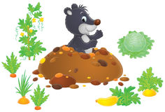 Mole in kitchen garden Stock Images
