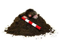 Mole in a molehill. Mole with guide stick in a molehill Stock Image