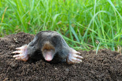 Mole and molehill on garden. Photo of mole and molehill on garden stock photography