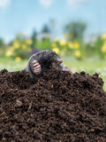 Mole in molehill. Mole poking out of mole mound stock images