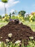 Mole in molehill Royalty Free Stock Photo